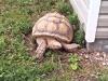 Comer Tortoise