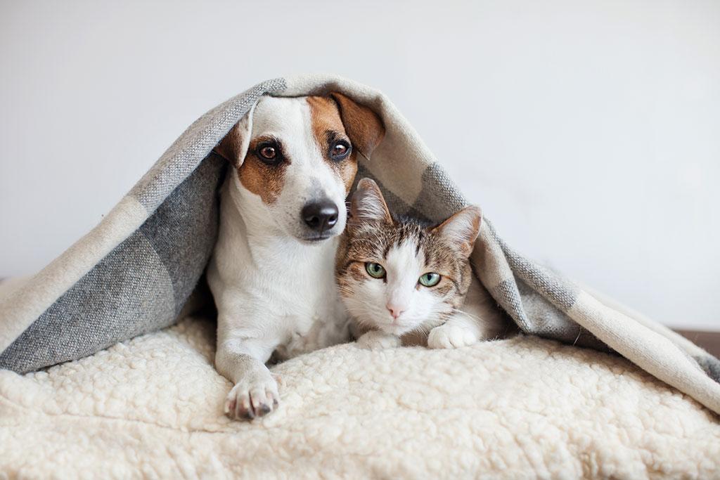 Axious dog, cat, under blanket.
