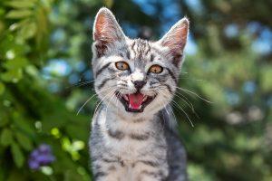 Excessive Mewing Grey Cat