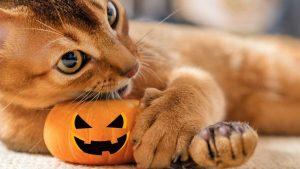 Cat Halloween pumkin stay safe