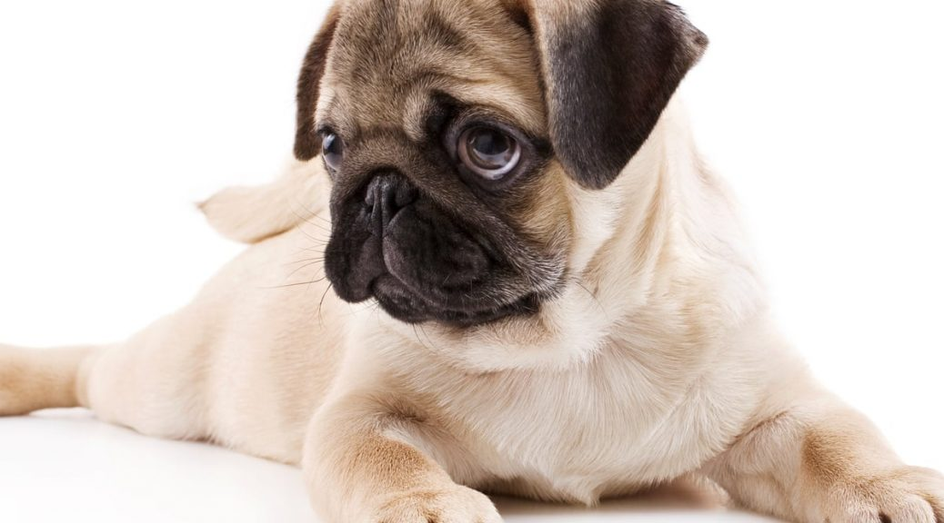 Handy Pet Care Apps Pug Dog