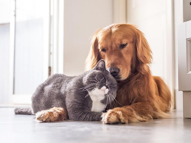Cat and Golden Dog together during pet sitting