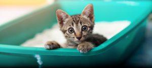 Kitten sitting Cat Litter Box