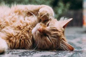 Orange longhair cat enjoying new home