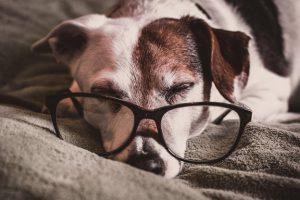 Senior Pet Dog with glasses
