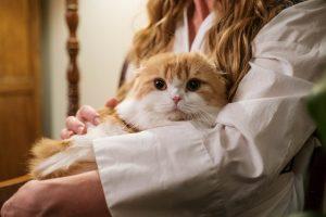 Cat Sitter cOrange White Cat in lap